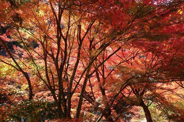 奥津渓谷の紅葉