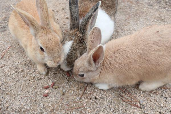 Rabbit Island 大久野島