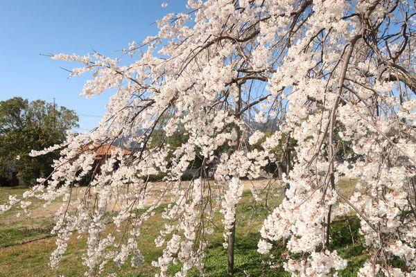 グリーンヒルズの桜