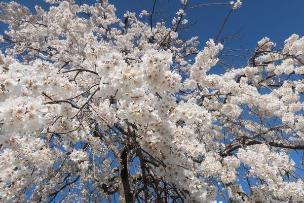 津山グリーンヒルズの桜