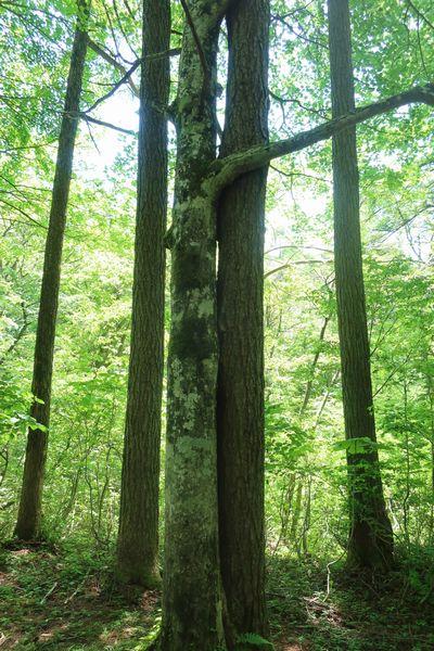 らぶらぶの木