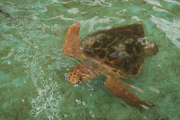 プールにいたウミガメ