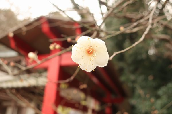 吉備津神社の梅